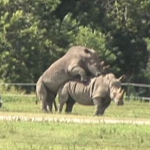 Happy Hump Day! Rhino's Playing Leap Frog