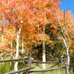 Rare Red quaking Aspens in Colorado by @MamaRitaMary