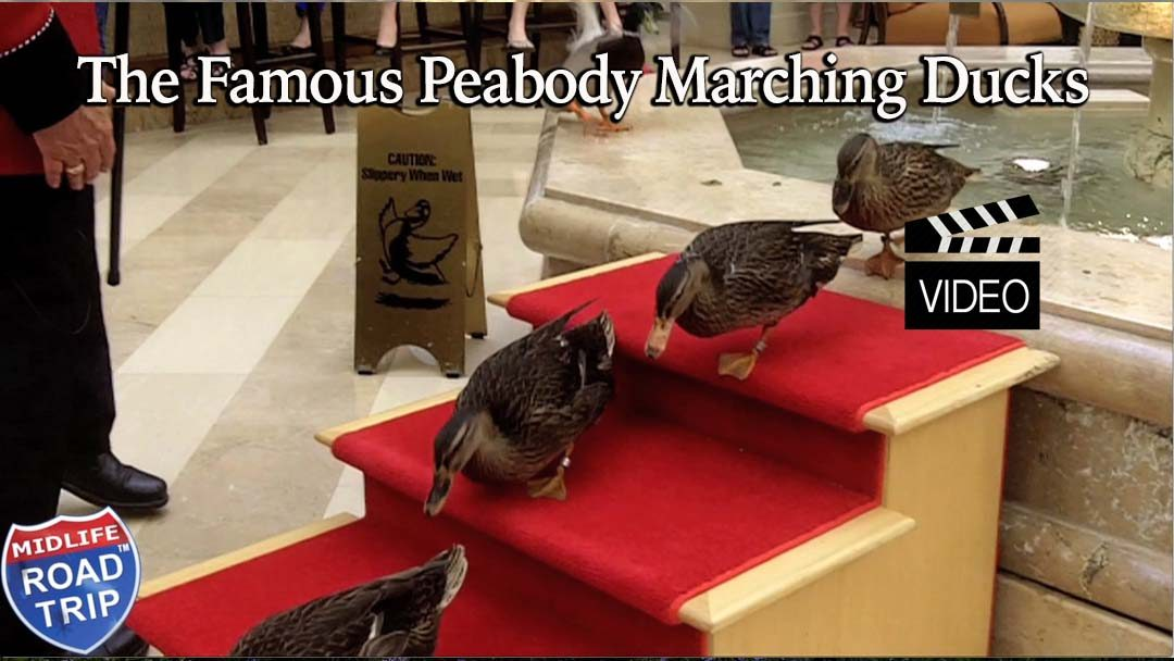 The Famous Marching Peabody Ducks
