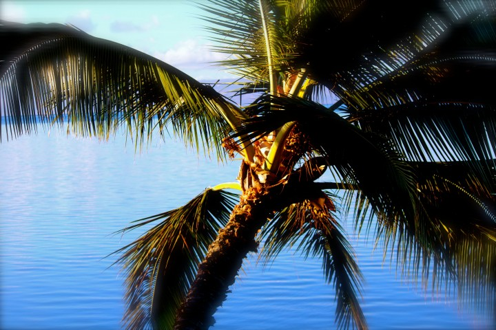 hawaiian palm tree