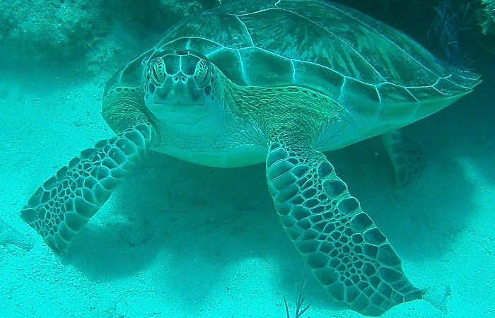 Hawksbill Turtle, Grand Turk, Turks and Caicos, Photographer Todd McNitt
