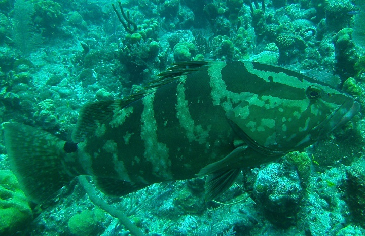 Nassau-Grouper Turks and Caicos